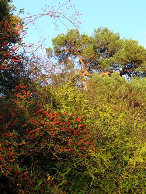 The Holly and the Scots Pine
