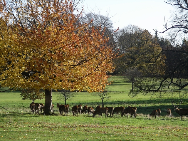 Deer, Wollaton Park