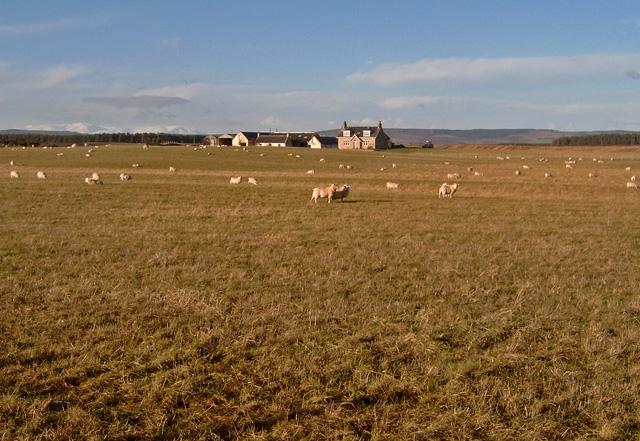 Sheep near Ballinreich (farm), Gollanfield