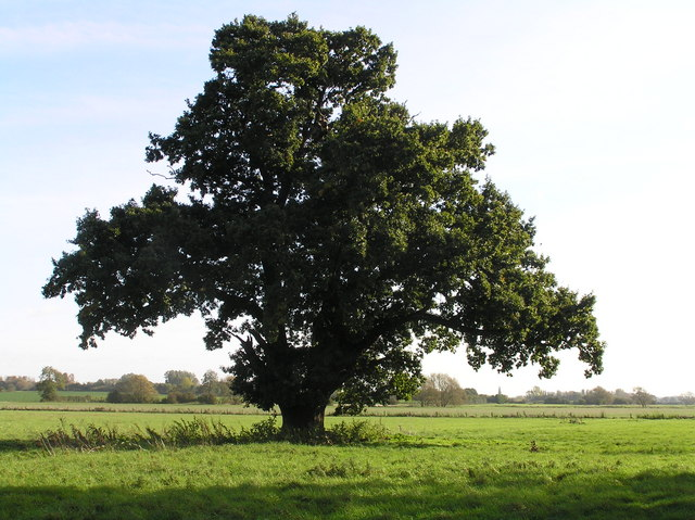Majestic Oak in the Tove Valley