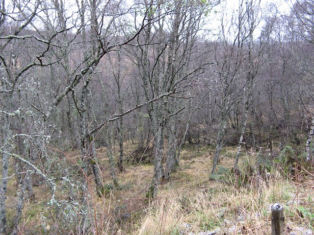 Birch woods, Glen Garry