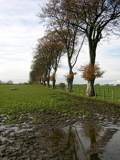 Line Of Trees Near Leaburn