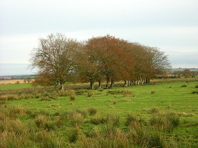 Line Of Trees Amid Rough Grazing