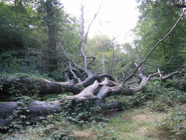 A fallen beech in Knighton Wood