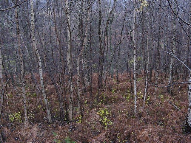 Birch woods, Glen Garry