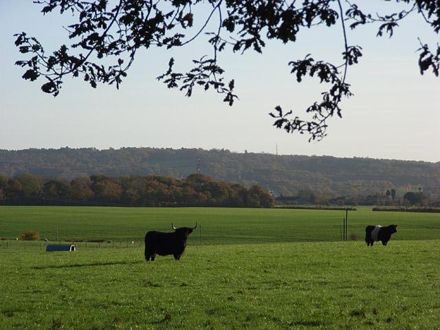 Cattle, Park Corner