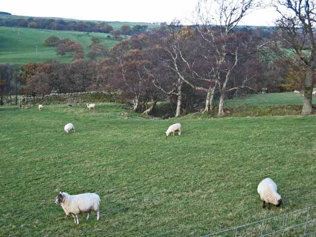 Field with sheep near Ruffside