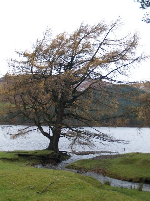 Larch, St Mary's Loch