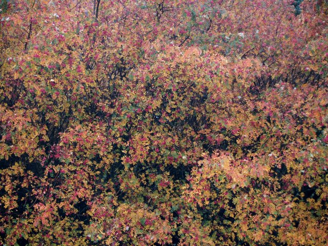 Rowan trees, Berry Knowe