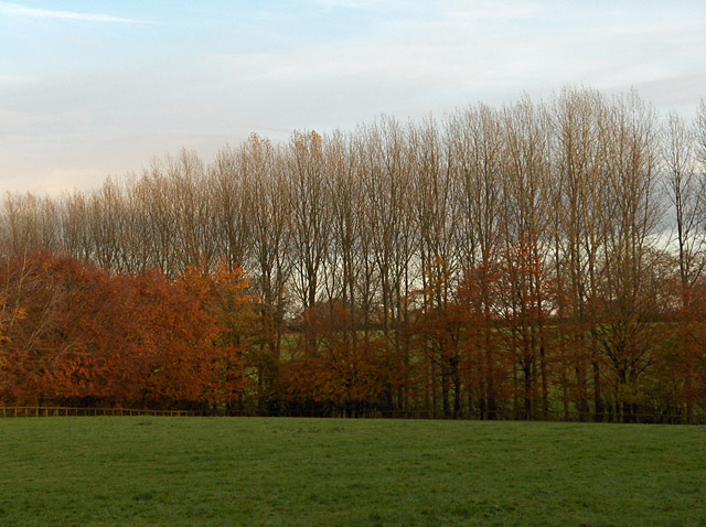 Poplars and beeches, East Stowell