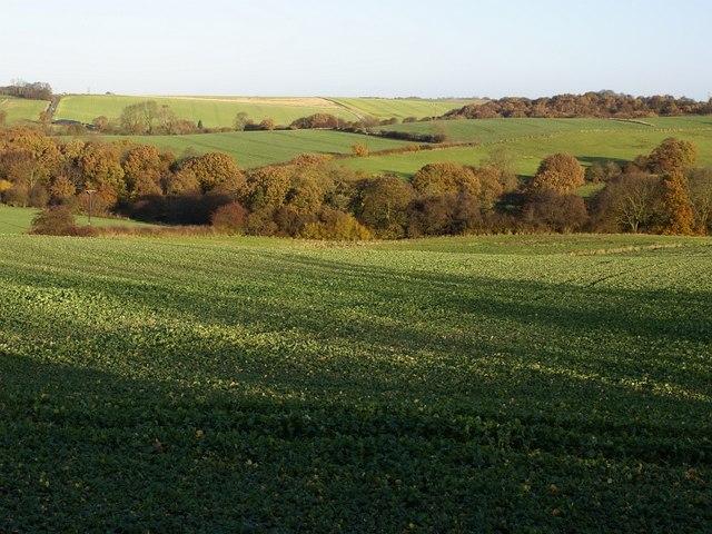 Brassica crop and woodland near Barlborough