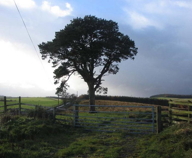 Lonesome Pine on the track to Muirfield