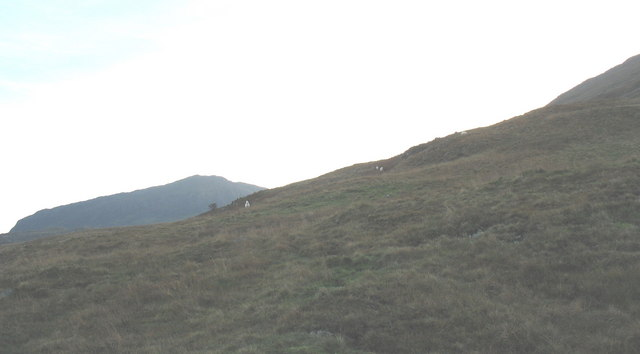 Sheep on Bryn Banog