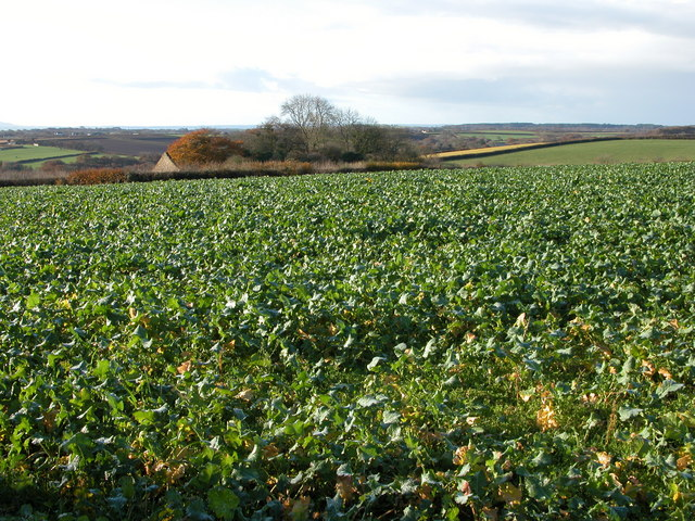 Field of turnips at Ley Cross, Ashreigney