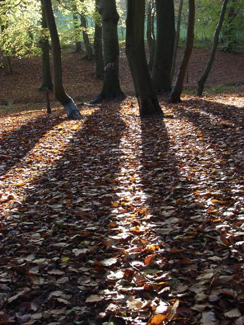Beech wood near Burchett's Green
