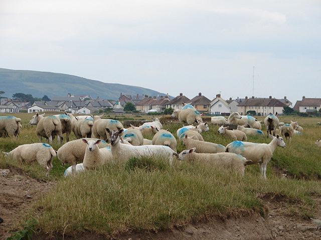 Sheep near Tywyn