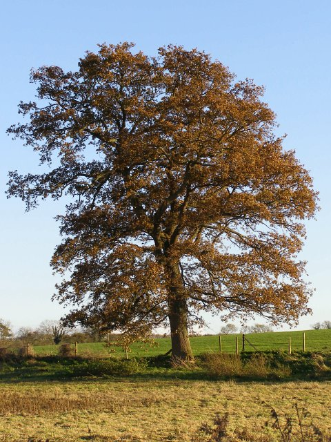 Autumnal oak near Swallowhead Springs