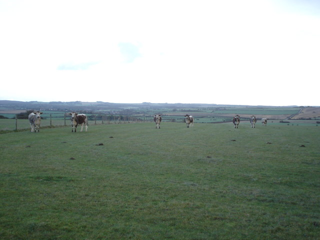 Shorthorns all in a row
