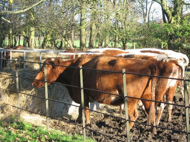 Rare Irish Moiled Cows at Croxteth