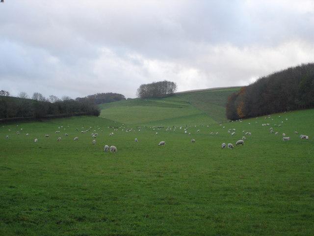 Sheep grazing in Church Bottom
