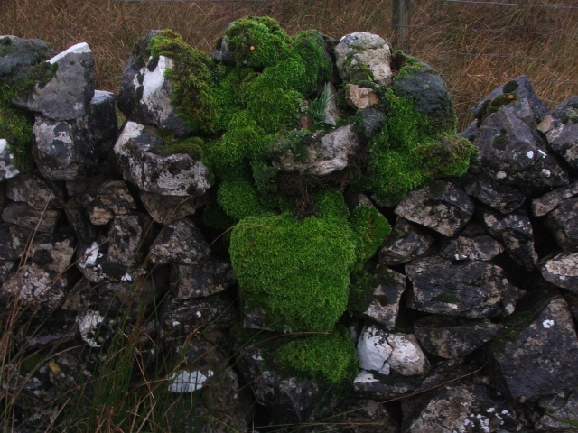 Moss Growing on Drystone Wall.