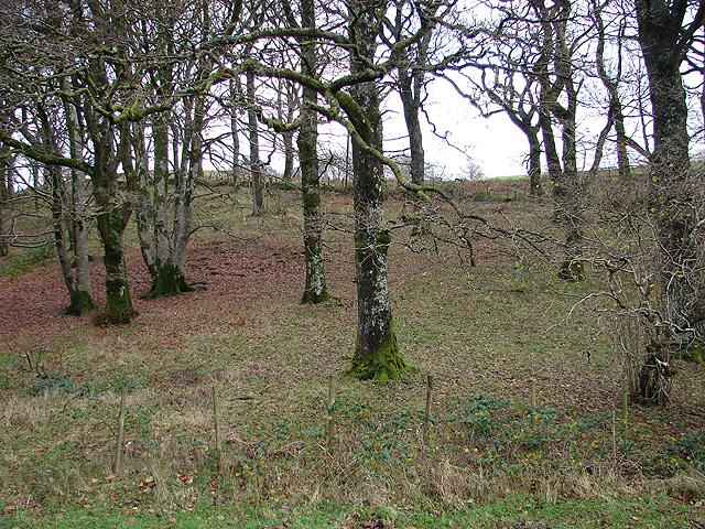 Scrub Oaks in Coed Hafod