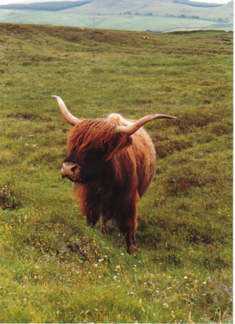 A wonderful specimen - Highland cow