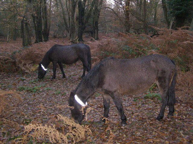 Ponies grazing in Matley Wood, New Forest