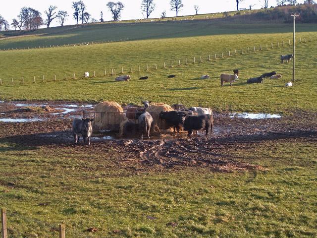 Beef cattle near Ardjachie