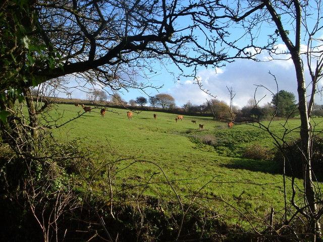 Field of cattle beside Ermington Footpath 18