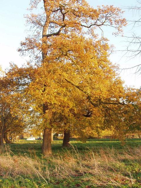 Oak trees in autumn, Upwood
