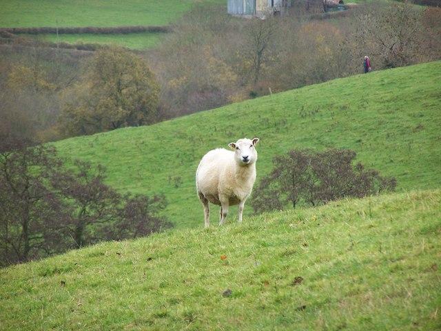 A Langridge Sheep