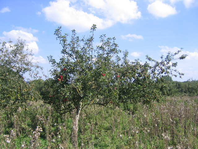 Apple tree at Kings Hill