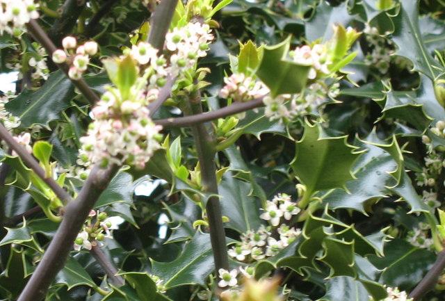 Holly tree in flower at Pen Ceunant