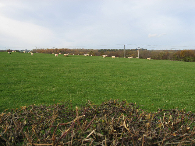 Another Field Of Sheep
