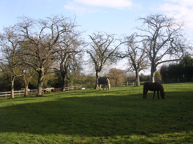 Horses grazing orchard