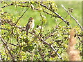 TM4666 : Sedge Warbler, Minsmere by Helen Hanley