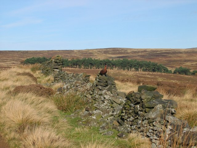 Grouse on old wall near Derwent