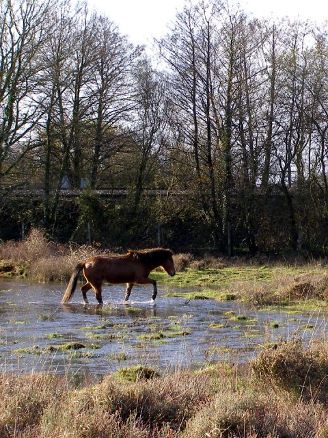 Pony fording a flood, north of Fulliford Passage, New Forest