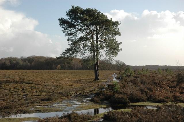 Scots pine, near Pig Bush