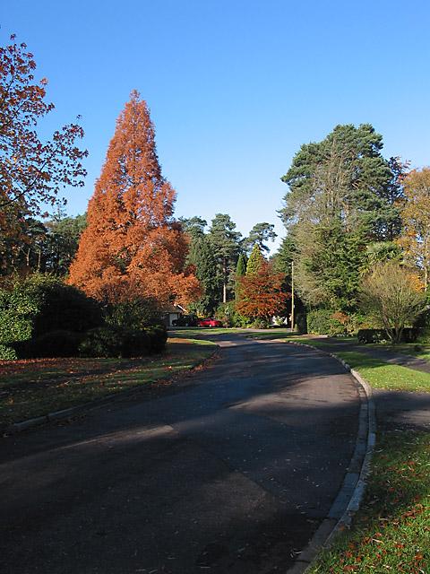 St Ives Wood, Ashley Heath