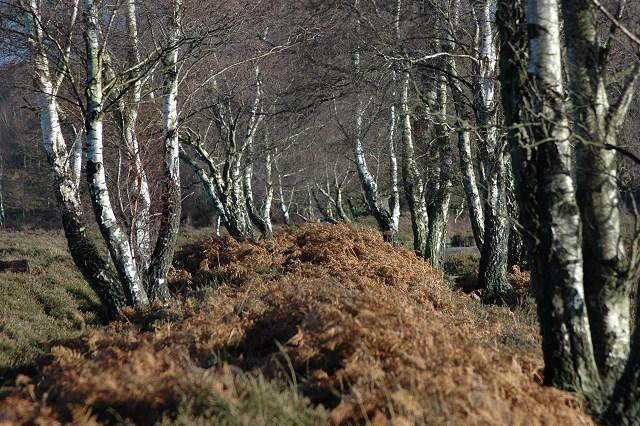 Birch trees on Bishop's Dyke
