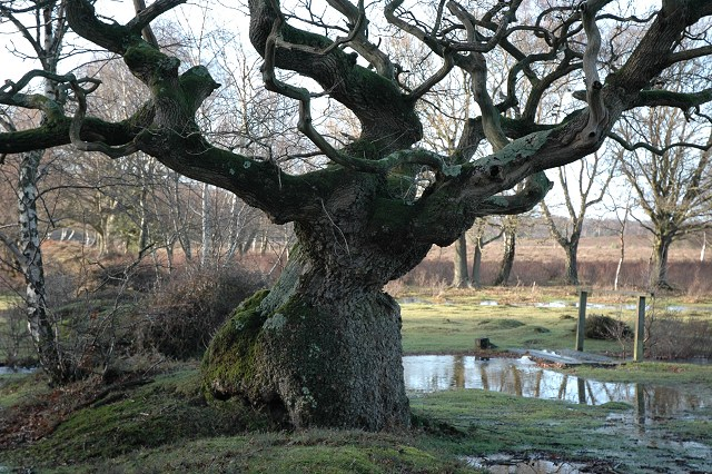 Oak tree on Bishop's Dyke, near Rowbarrow.