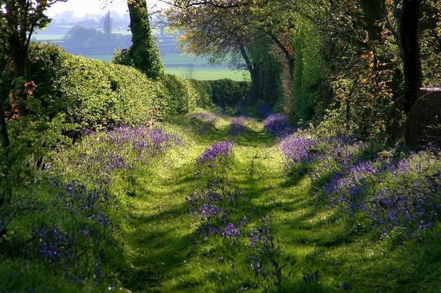 Bluebell covered track near Kings Newnham