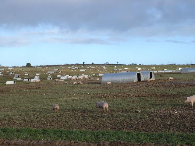 Piglets on Holly Grove Farm