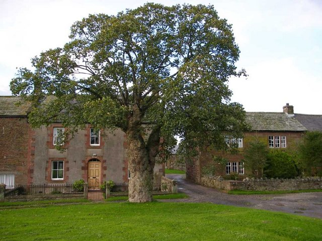 Pollarded sycamore and traditional cottages, Millburn.