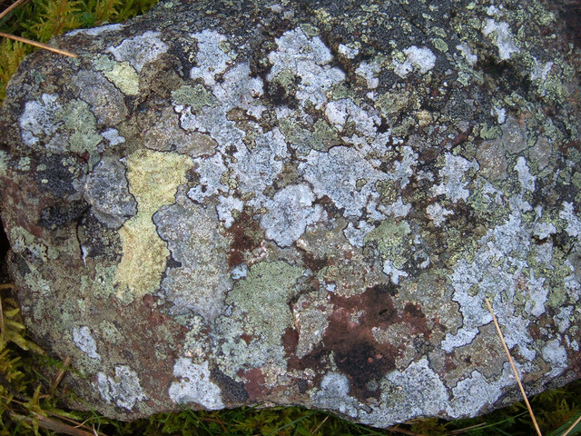 Map Lichen (Rhizocarpon geographicum)
