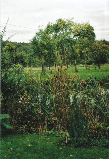 Autumnal vegetation - bulrushes and teasels