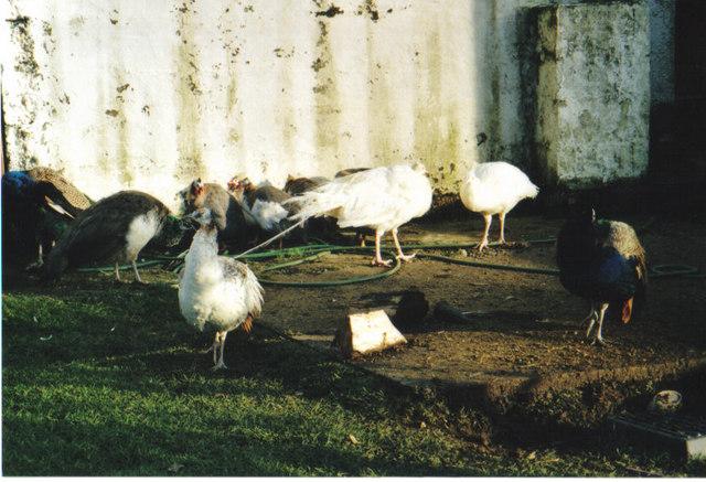 Peacocks, white peacocks and guinea fowl at Talisker Farm