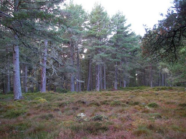A clearing in mature Scots pine woodland.